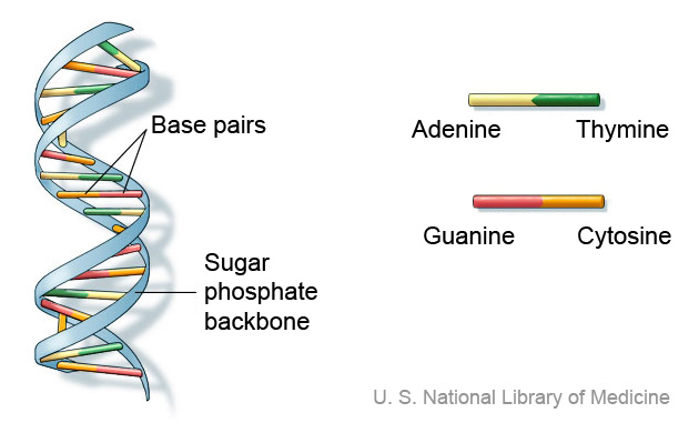 Diagrammatic representation of DNA. DNA has a spiral staircase-like structure. The steps are formed by the nitrogen bases of nucleotides. The nucleotide adenine pairs with thymine, and cytosine with guanine. The nucleotide base pairs are connected by sugar phosphate backbone.