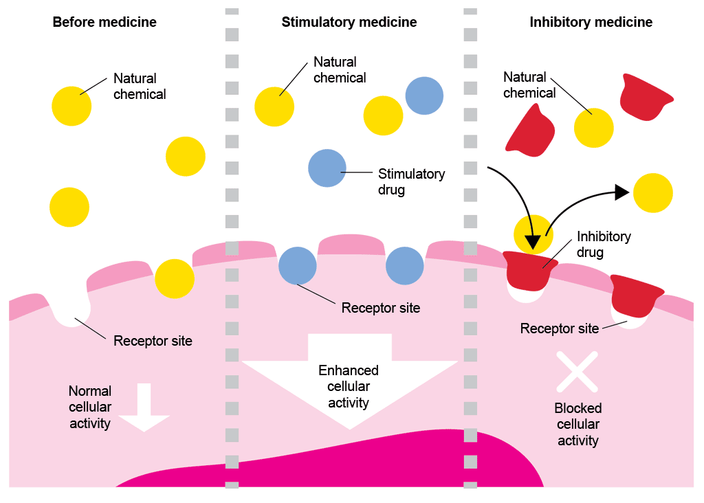 Diagrammatic representation of the way that different drugs affect cellular activity. Under normal conditions, before a medicine has been administered, natural chemicals attach to receptor sites on the cell membrane (like a key into a lock) and cause normal cellular activity to take place. Stimulatory drugs are similar shapes to the natural chemicals; they fit into the receptor site just as the natural chemical would and stimulate enhanced cellular activity. Inhibitory drugs slot into the receptor site in order to block the inhibitory drug from attaching to the cell membrane, thereby blocking cellular activity.