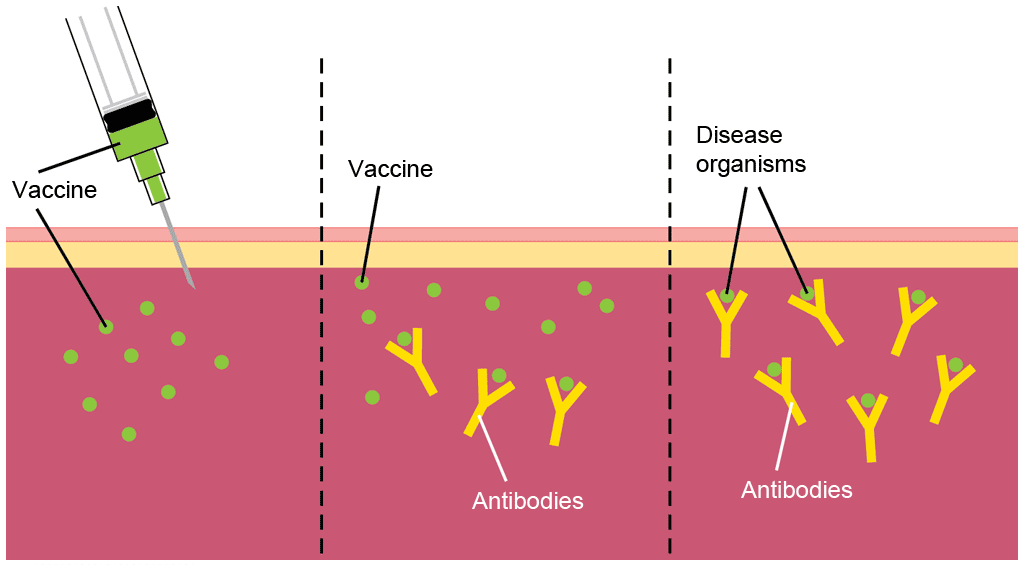 Diagrammatic representation of the process of vaccination. During vaccination, a vaccine with modified forms of viruses or bacteria is injected into the body. The vaccine stimulates the immune system to produce antibodies against the microorganism. The immune system learns to recognise the microorganism, so that if the body is later infected with the live disease it will produce antibodies to attach to the microorganisms and stop the infection.