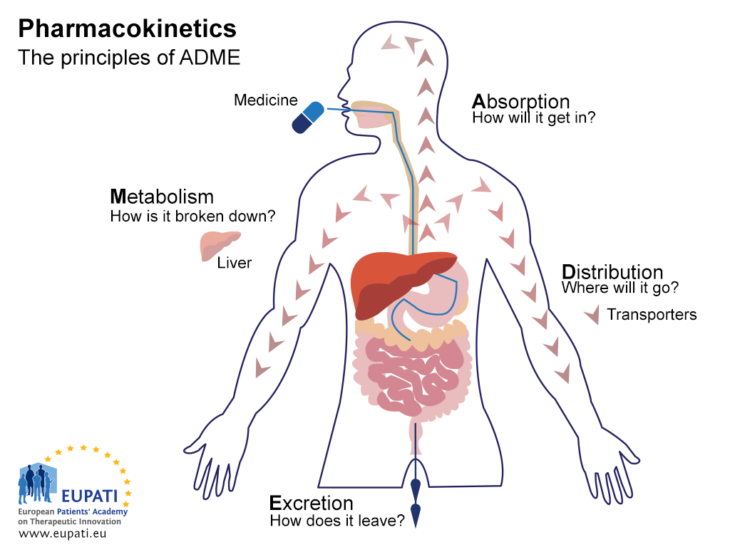 A diagram explaining the principles of Pharmacokinetics: ADME. The diagram shows the outline of a human body, including the digestive system (mouth, oesophagus, stomach, small and large intestines) and liver. The principles of ADME concern the interaction of the medicine with the body and vice versa. Absorption (represented by the administration of a tablet) asks the question 'How will it get in?'. Distribution asks the question 'Where will it go?' The distribution of the medicine from the stomach via the bloodstream to the body is represented here by a series of arrows. Metabolism asks the question 'How is it broken down?' This is represented by the presence of the liver in the diagram. Excretion asks the question 'How does it leave' and is represented with arrows proceeding from the colon.